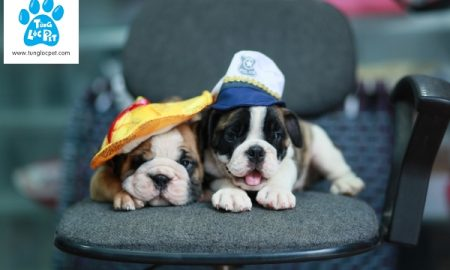 Chào bán đàn chó English Bulldog tháng 9/2017