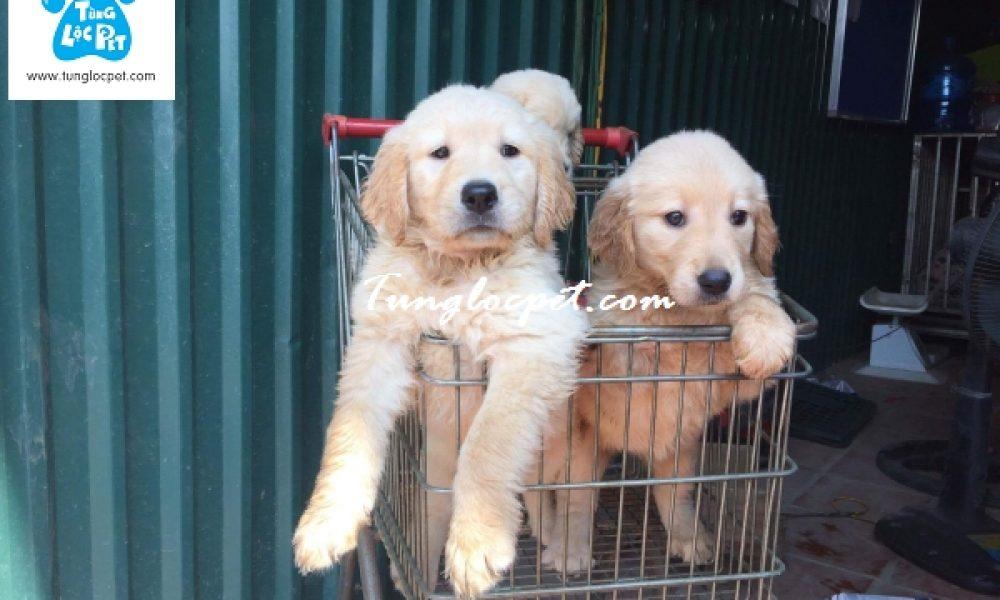 """Tùng Lộc Pet –  """"Tùng Lộc Pet – Xuất chuồng đàn Golden Retriever cuối tháng 9 đầu tháng 10/2016"""