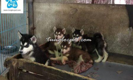 Tùng Lộc Pet – Chào bán đàn chó Husky tháng 11/2016