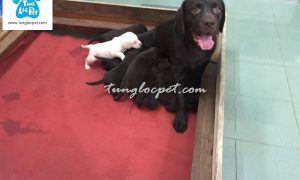 Tùng Lộc Pet – Chào bán đàn chó Labrador Retriever 9 bé tháng 12/2016