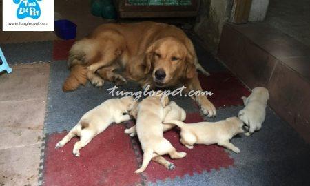 Tùng Lộc Pet – Nhận đặt và bán các đàn chó Golden Retriever trong tháng 01/2017