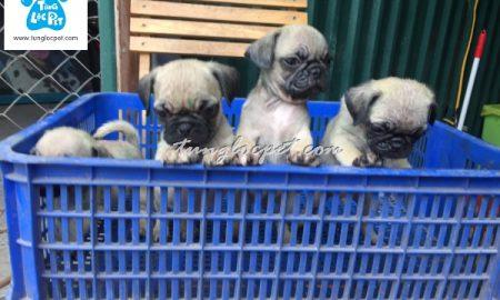 Tùng Lộc Pet – Chào bán đàn chó Pug tháng 12/2016