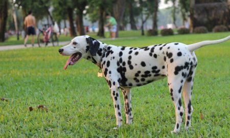 101 điều cần chú ý  trước khi nuôi một chú chó đốm (Phần 3)