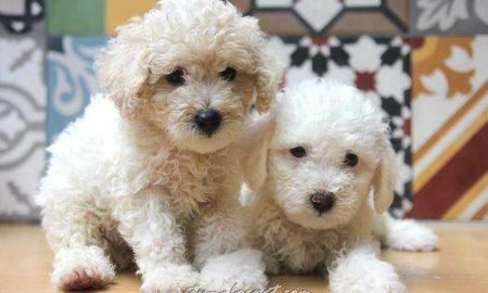 Tùng Lộc Pet – Chào bán đàn chó Toy Poodle màu trắng kem Tháng 10/2015