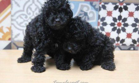 Tùng Lộc Pet – Chào bán đàn Toy Poodle màu đen tháng 10/2015