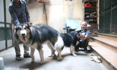 Tùng Lộc Pet – Dịch vụ phối giống chó Alaskan Malamute màu xám