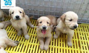 Bán đàn chó Golden Retriever tháng 6/2017