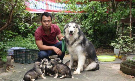 Tùng Lộc Pet – Chào bán đàn chó Alaskan Malamute giá hấp dẫn