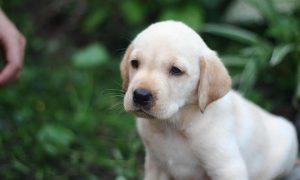 Tùng Lộc Pet: Báo giá bán chó Golden và Labrado Tháng 11/2013