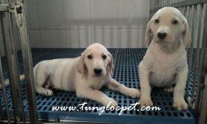 Tùng Lộc Pet – Chào bán 2 cún Labrador Retriever 2,5 tháng tuổi T9/2015