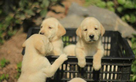 Tùng Lộc Pet: Báo giá bán chó Labrador và Golden tháng 12/2013