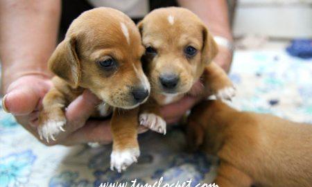 Tùng Lộc Pet – Nhận đặt và bán đàn chó Dachshund (Lạp xưởng) tháng 7/2015