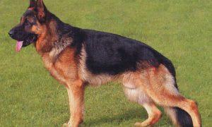 Tùng Lộc Pet – 5 giống chó dễ gây hiểu lầm vì vẻ bề ngoài