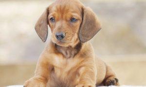 Tùng Lộc Pet – Chào bán đàn chó Dachshund (Lạp sườn) tháng 10/2016