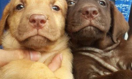 Tùng Lộc Pet – Bán đàn chó Labrador đủ 3 màu: Vàng, đen, socola