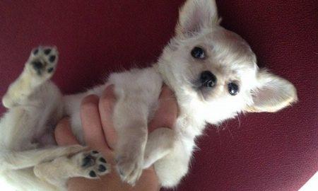 Tùng Lộc Pet – Nhận đặt và bán đàn chó Chihuahua lông dài