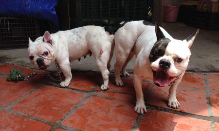 Clip phối giống chó Bulldog Pháp (French Bulldog)