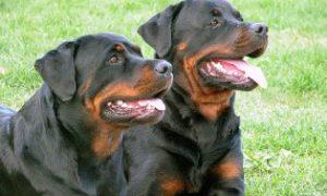 Những điều cần tránh khi bắt đầu huấn luyện Rottweiler