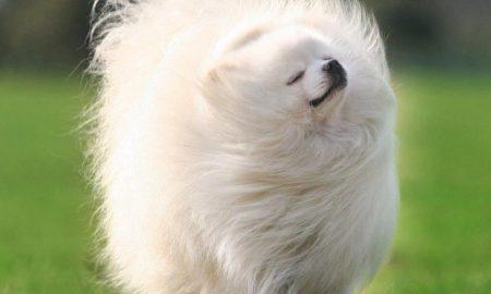 Tùng Lộc Pet – Nguồn gốc chó Pomeranian (Phốc Sóc)