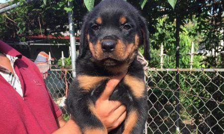 Tùng Lộc Pet – Chào bán đàn chó Rottweiler dòng đại Tháng 6/2015