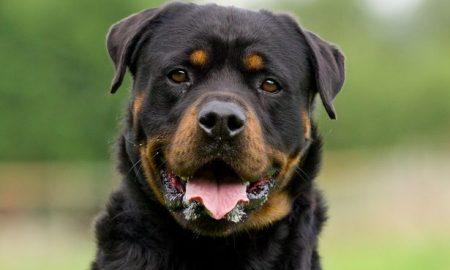 Tùng Lộc Pet – Cách huấn luyện chó Rottweiler ( Phần 2)