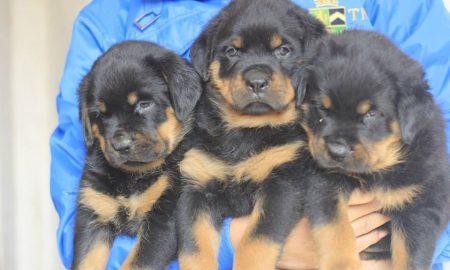 Tùng Lộc Pet: Báo giá các dòng Rottweiler Tháng 1/2014
