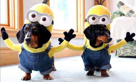 Tùng Lộc Pet – Bật cười với 2 bé cún đáng yêu cosplay Minion ngộ nghĩnh