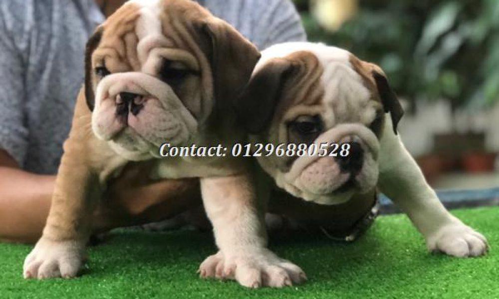 Tùng Lộc Pet – Chào bán đàn chó English Bulldog VKA tháng 08/2018