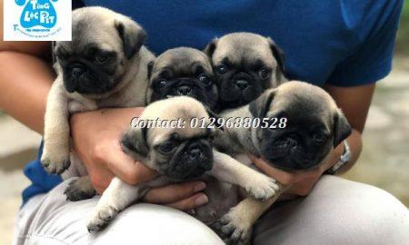 Tùng Lộc Pet – Nhận đặt cọc đàn chó Pug mini mặt xệ sinh tháng 07/2018