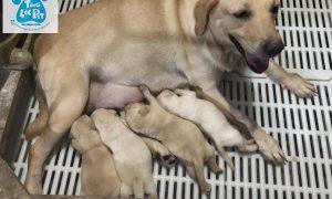 Tùng Lộc Pet – Chào bán đàn chó Labrador Retriever tháng 10/2018