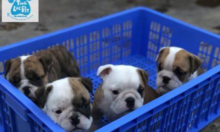 Tùng Lộc Pet – Chào bán đàn chó Bulldog mặt xệ tháng 11/2018