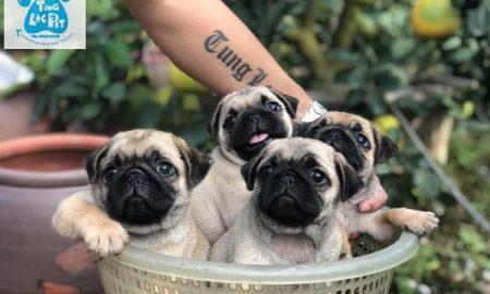 Tùng Lộc Pet – Bán đàn chó Pug mini mặt xệ tháng 11/2018