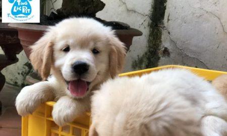 Tùng Lộc Pet – Chào bán đàn chó Golden Retriever tháng 12/2018