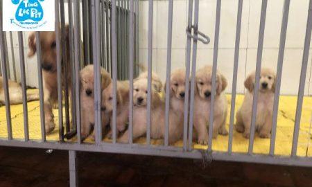 Chào bán đàn chó Golden Retriever tháng 01/2019