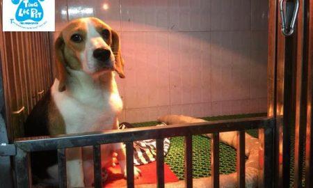 Tùng Lộc Pet – Nhận đặt đàn chó săn thỏ Beagle sinh tháng 12/2018