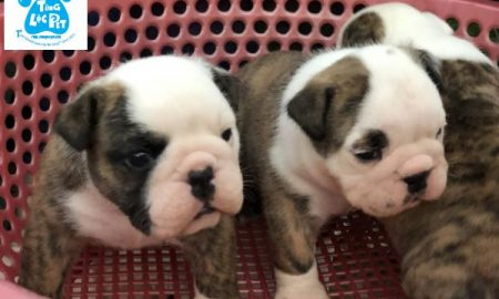 Tùng Lộc Pet – Chào bán đàn chó Bulldog VKA Tháng 02/2019