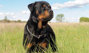 Tùng Lộc Pet – Top 10 loại chó khỏe nhất thế giới