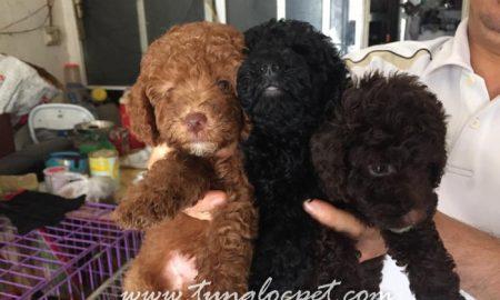 Tùng Lộc Pet – Chào bán 5 bé Toy Poodle xuất chuồng tháng 6/2015