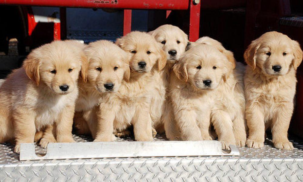 Chào bán đàn chó Golden Retriever 8 bé cuối tháng 3/2018