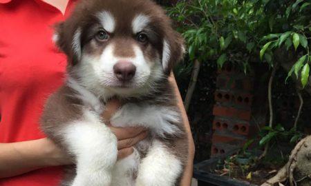Tùng Lộc Pet – Bán 3 bé chó Alaskan Malamute nâu đỏ xuất chuồng tháng 6/2015