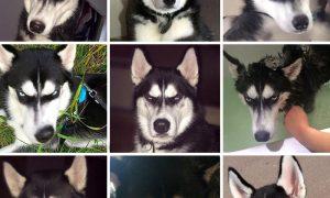 """Tùng Lộc Pet – Biểu cảm """"cực độc"""" của chú Husky khi bắt bóng"""
