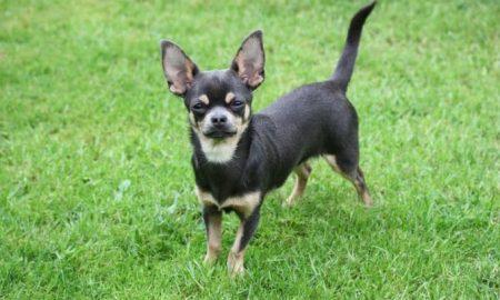 Tùng Lộc Pet – Bạn biết gì về giống chó Chihuahua?