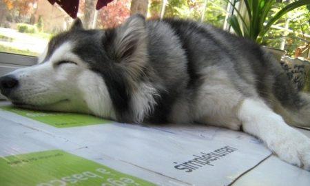 Tùng Lộc Pet – Chú husky nghĩ mình là mèo