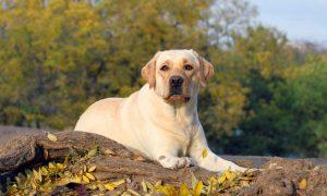 Tùng Lộc Pet – Những vấn đề sức khỏe điền hình của chó Labrador Retriever