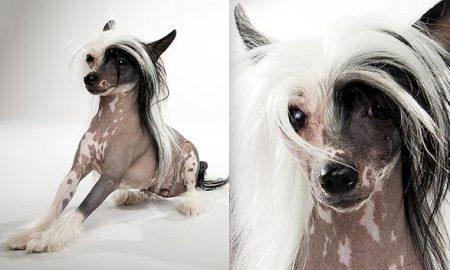 Tùng Lộc Pet – Giống chó Chinese Crested – Chú chó kỳ lạ nhất hành tinh
