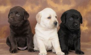 Tùng Lộc Pet – Một số thông tin về giống chó Labrador