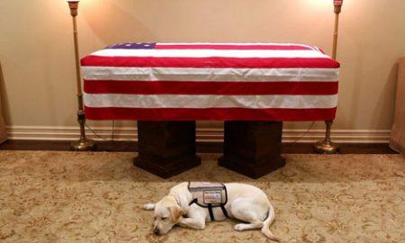 Chú chó Labrador nằm canh linh cữu cố tổng thống Bush