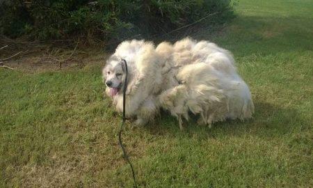 Tùng Lộc Pet – Chú chó đội lốt cừu sau 6 năm không được cạo lông, tỉa tót