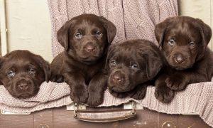 Chào bán đàn chó Labrador Retriever tháng 3/2018