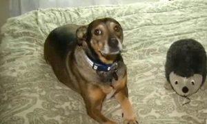 Tùng Lộc Pet – Chó cứu chủ để trả ơn cưu mang 6 năm trước